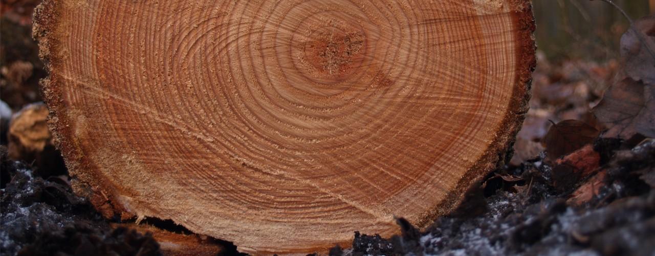 Ağaç Halkalarından Çıkarılan 8000 Yıllık İklim Haritası